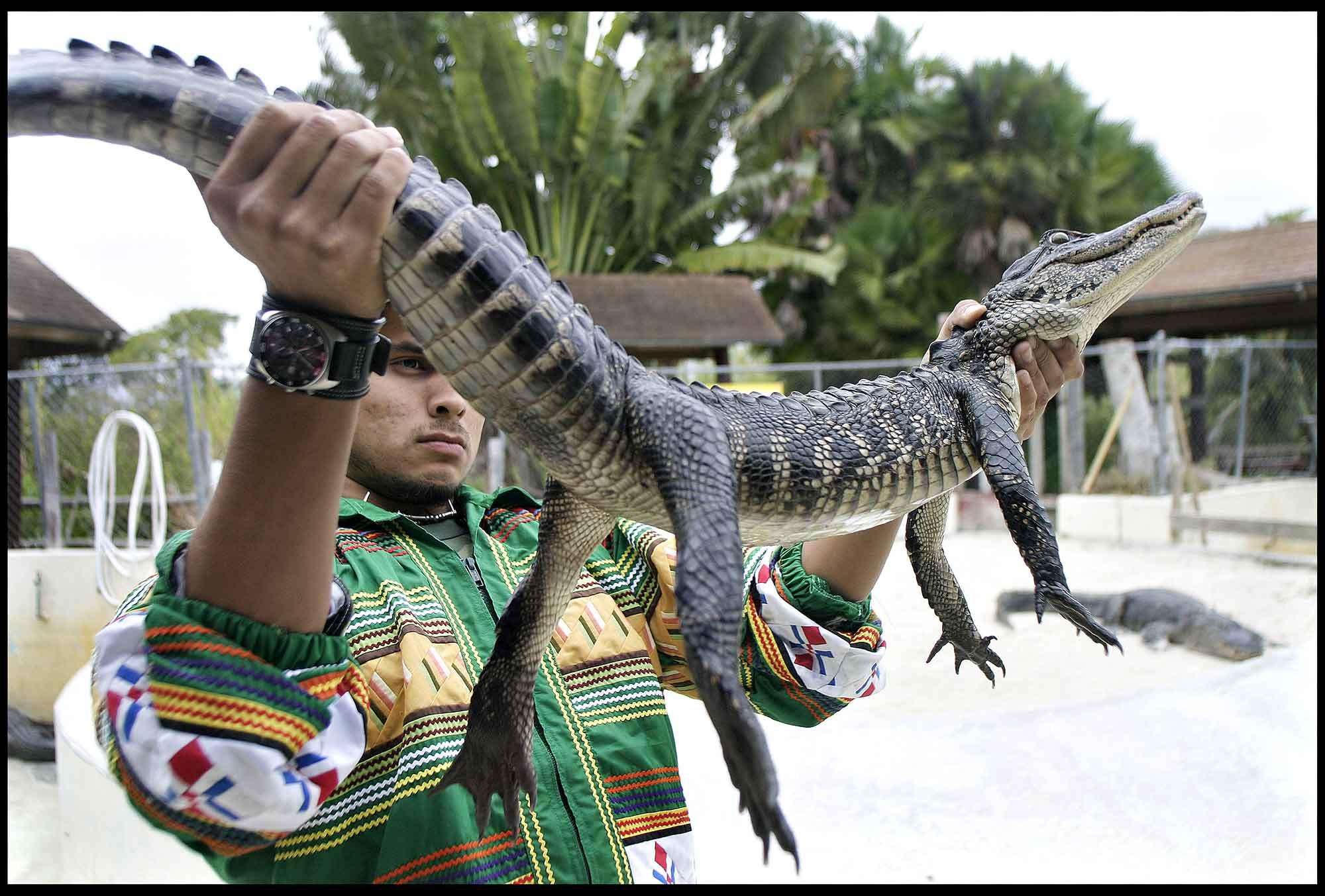 Alligator holdes af indianer på farm i Everglades-USA