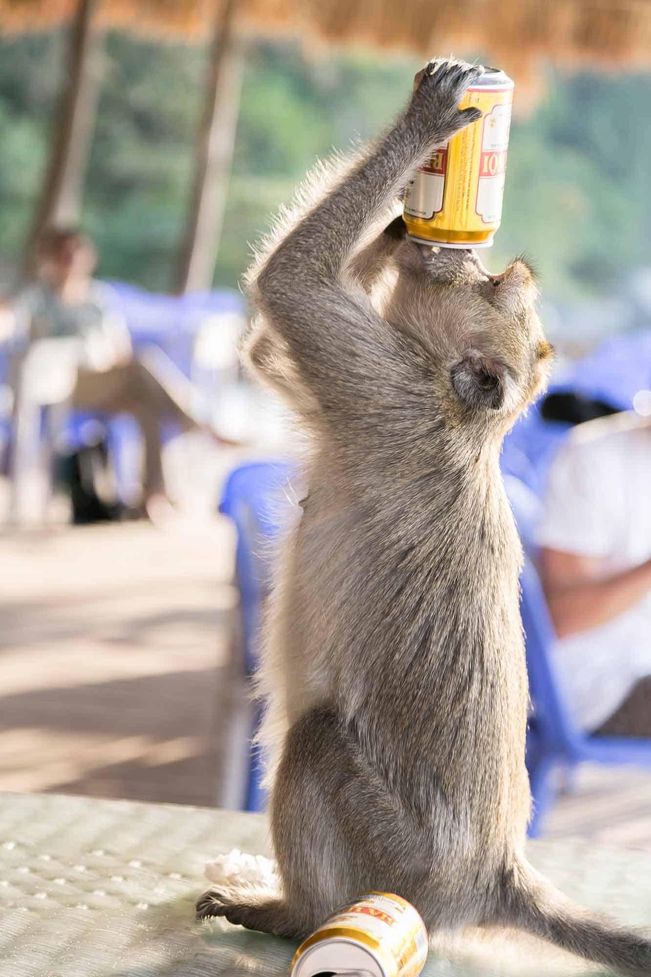 Abe drikker øl fra dåse på Monkey Island i Halong Bay