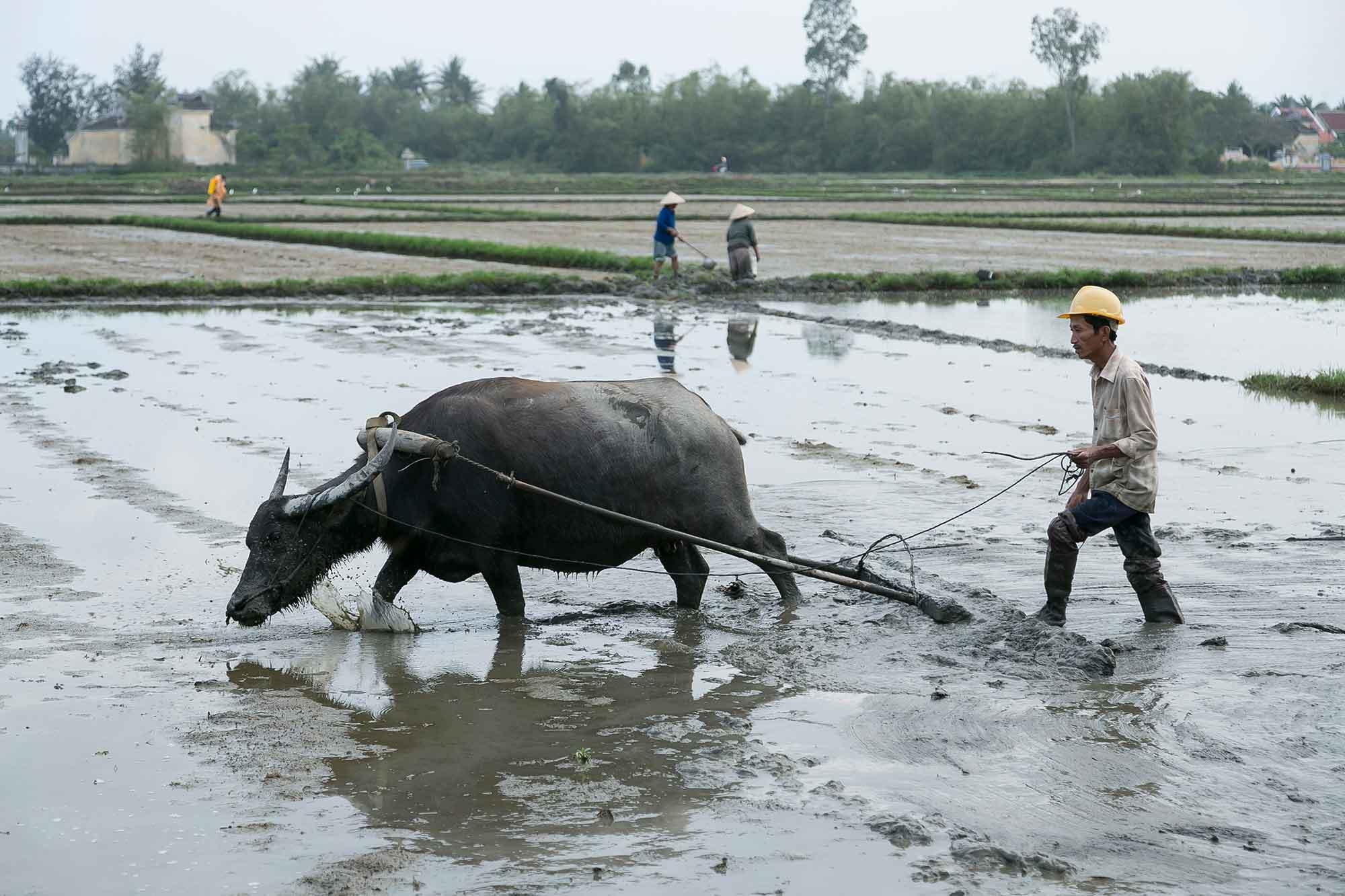 Vietnam-rismarker dyrkes med okser